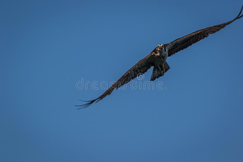 Águia pescadora em voo em uma manhã clara do verão com céus azuis fotografia de stock royalty free