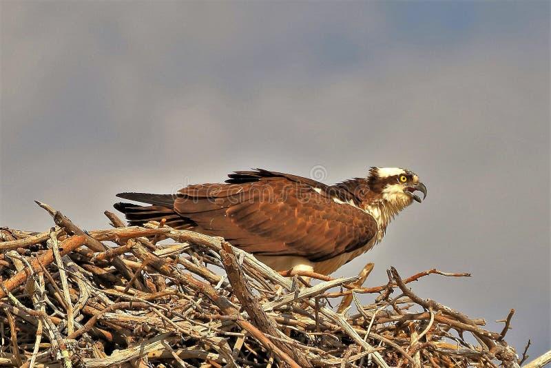 A águia pescadora empoleirou-se altamente em seu ninho imagens de stock royalty free