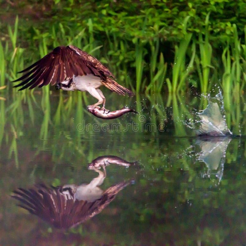 A águia pescadora escocesa com um peixe, a reflexão e a água espirram fotografia de stock