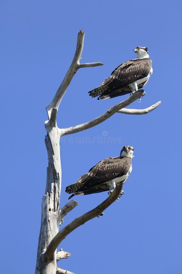 Águia pescadora gêmea imatura empoleirada em uma árvore inoperante fotos de stock royalty free
