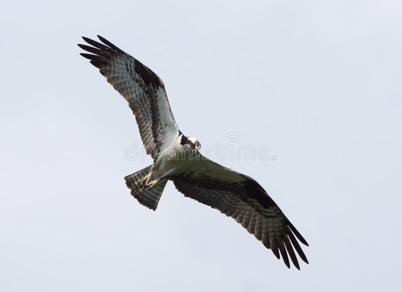 Águia pescadora - haliaetus do Pandion fotografia de stock royalty free