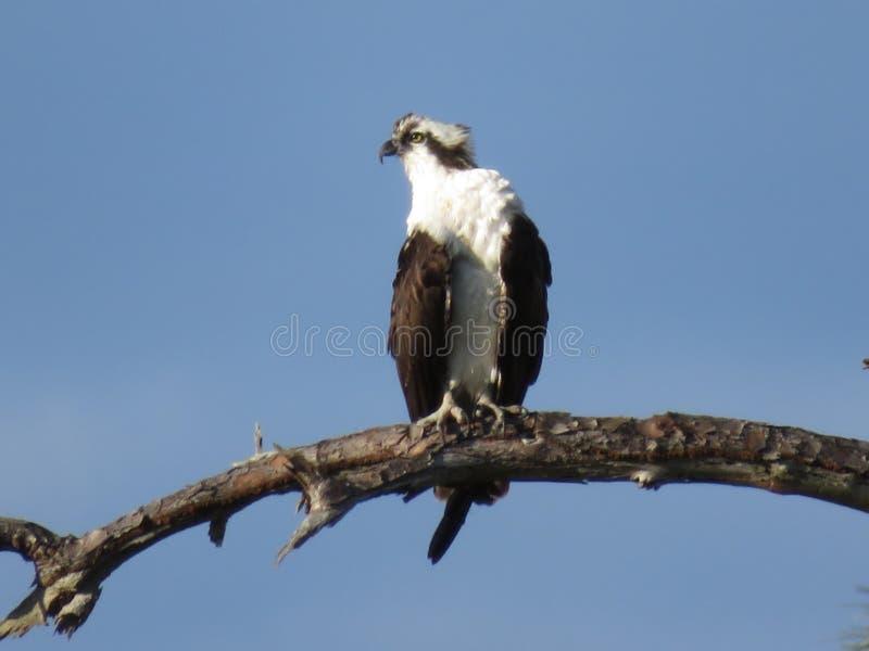 Águia pescadora madura que descansa no ramo de árvore imagem de stock royalty free