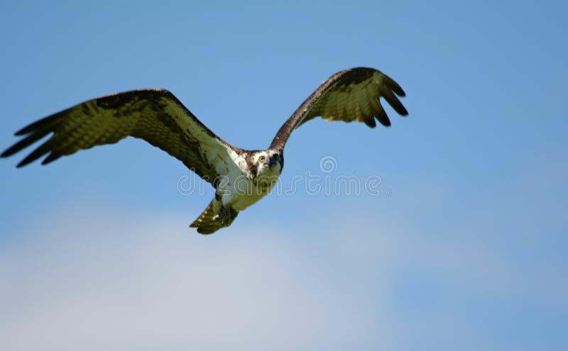 Águia pescadora norte-americana - estudo aéreo fotografia de stock royalty free
