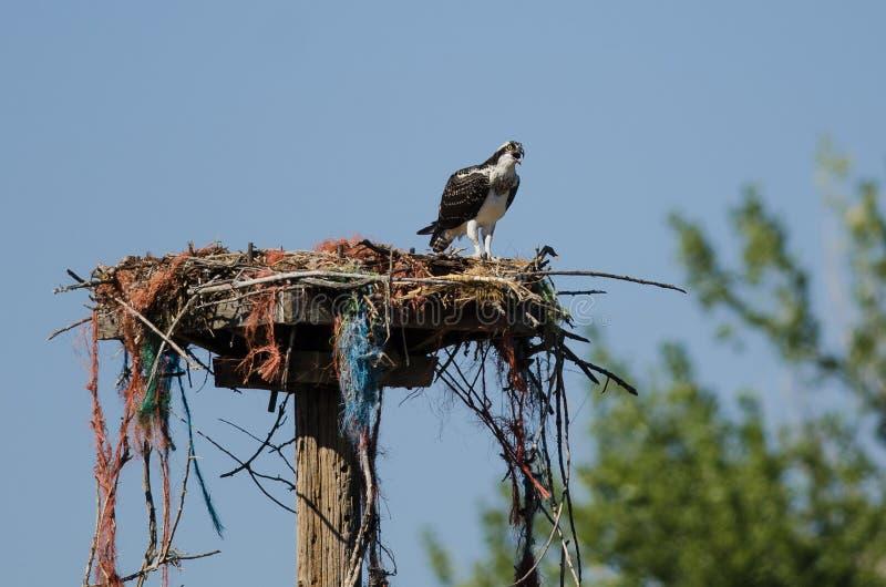 Águia pescadora nova que chama quando empoleirado em seu ninho fotografia de stock royalty free