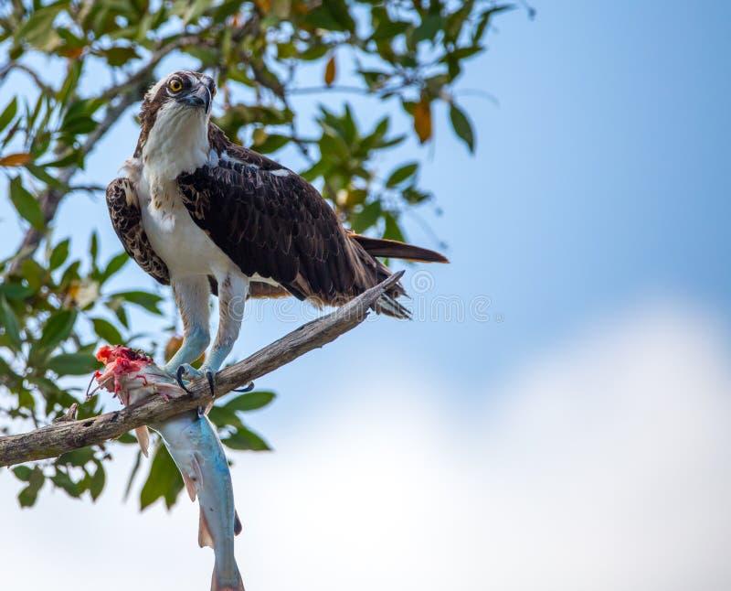 Águia pescadora que come peixes na árvore fotografia de stock