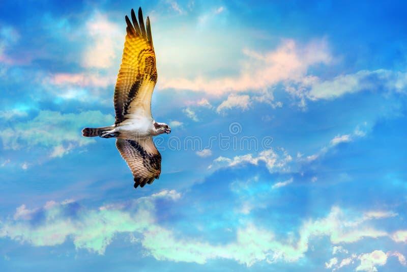 Águia pescadora que sobe altamente contra um céu bonito fotos de stock