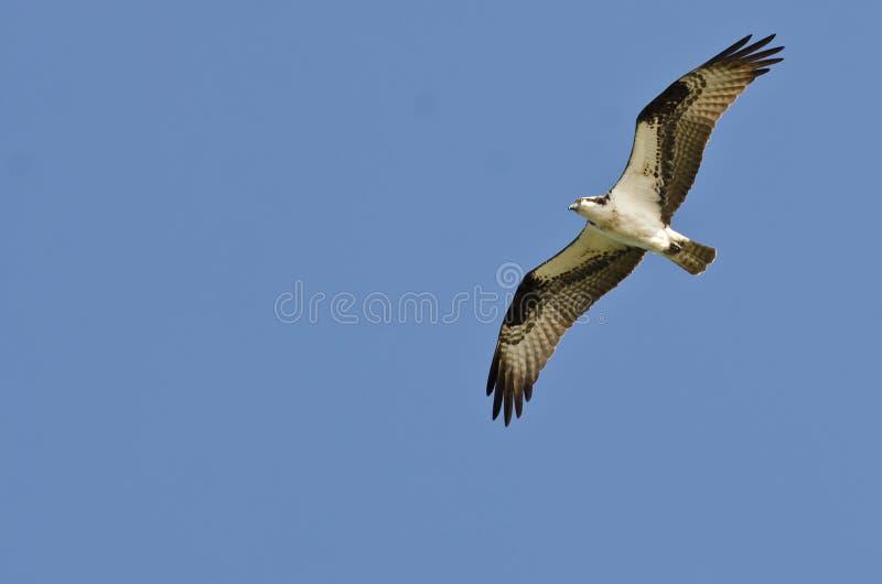 Águia pescadora que sobe altamente em um céu azul claro fotos de stock