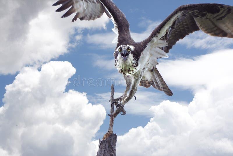 A águia pescadora que toma o voo dele é Pertch imagem de stock