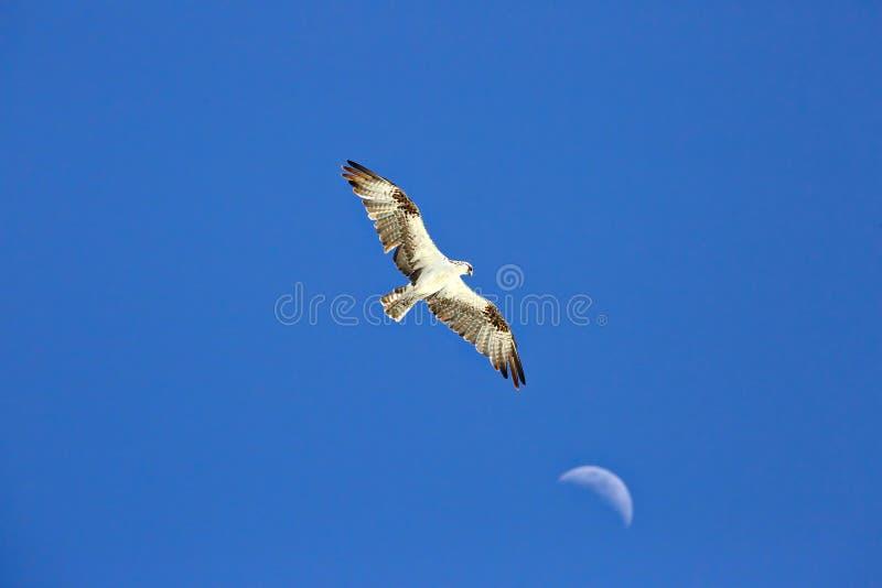 Águia pescadora que voa altamente com a lua no fundo fotografia de stock