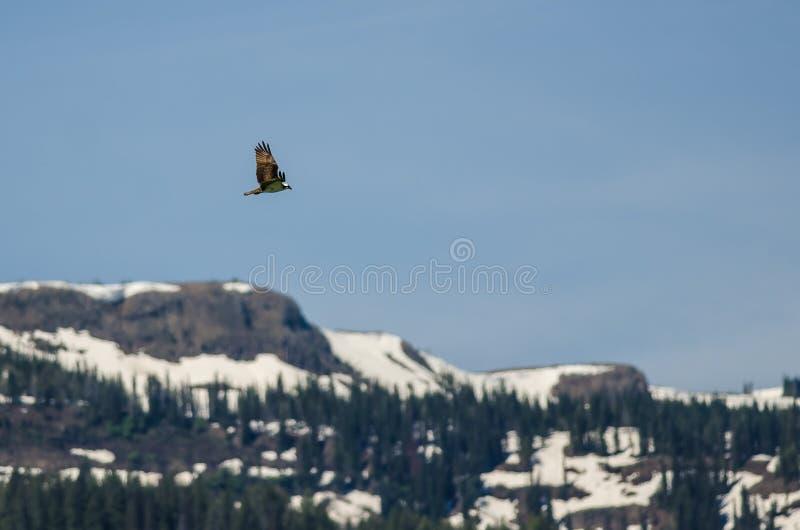 Águia pescadora que voa altamente sobre as montanhas cobertos de neve foto de stock royalty free