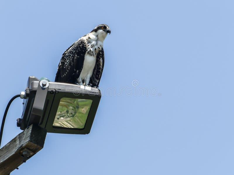 Águia pescadora selvagem nova que senta-se no ligh do parque com céu azul fotografia de stock royalty free