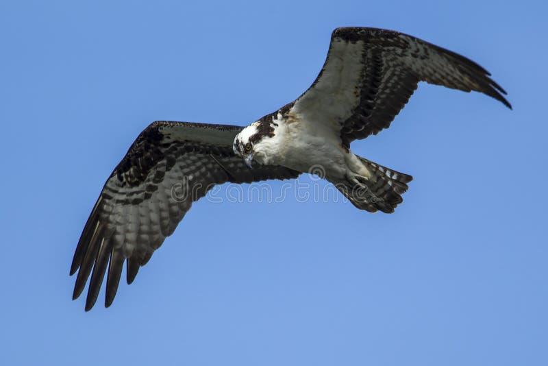 A águia pescadora voa acima da elevação acima de Fernan Lake imagens de stock