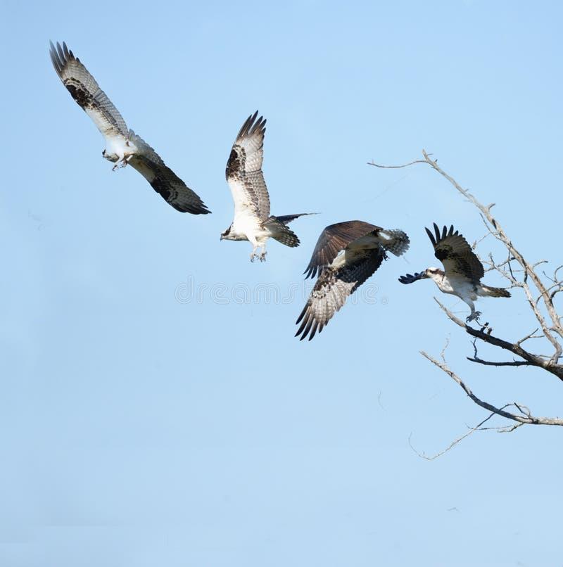 A águia pescadora voa longe de sua vara em uma árvore inoperante no greenway de Amelia Island imagens de stock