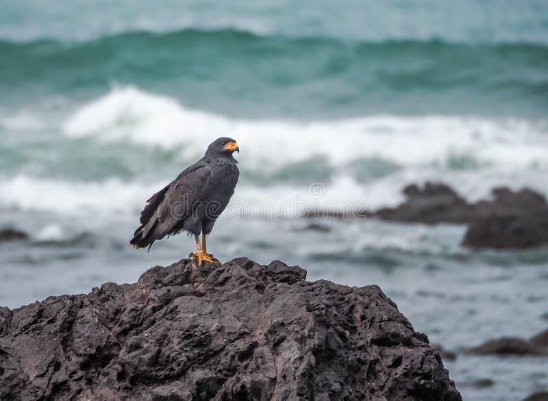 Águia preta em uma rocha Drake Bay Views em torno de Costa Rica imagens de stock