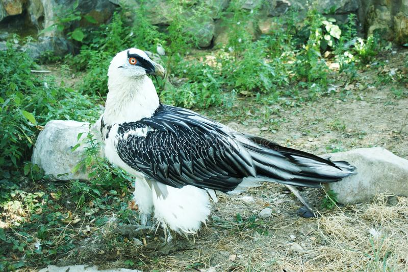 Águia preto e branco do falcão fotos de stock royalty free