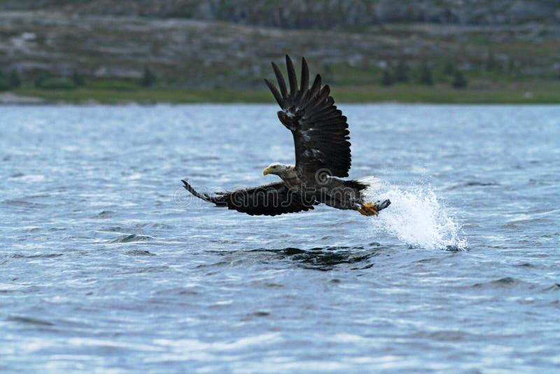águia RWhite-atada em voo, águia com um peixe que fosse arrancado apenas da água, Escócia fotos de stock royalty free