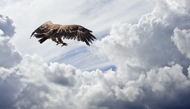 A águia Tawny prepara-se para swoop de encontro ao céu temperamental foto de stock royalty free