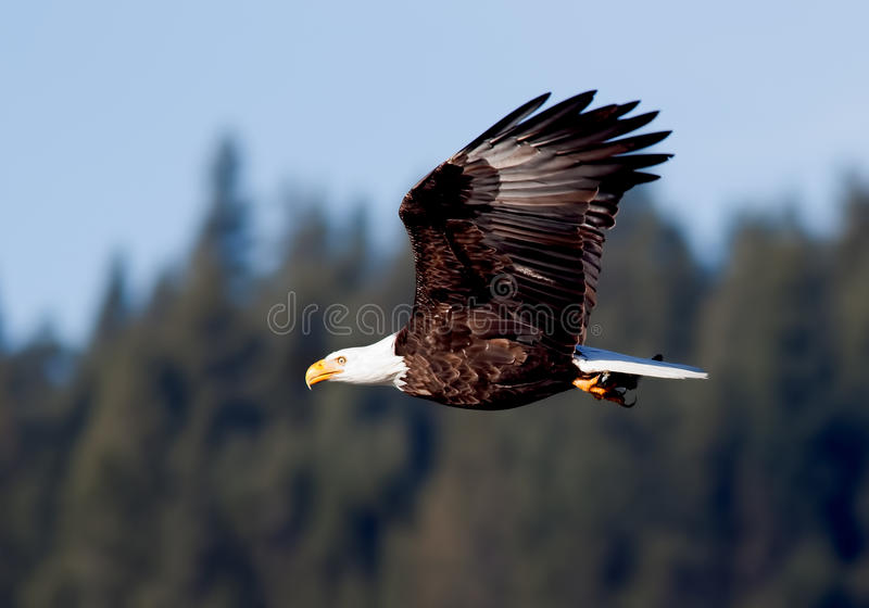 A águia voa através do céu. imagem de stock royalty free