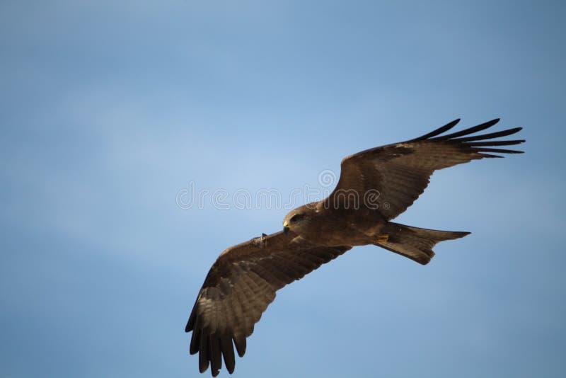 águias imagem de stock royalty free
