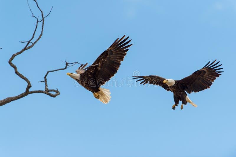Águias americanas em voo imagem de stock