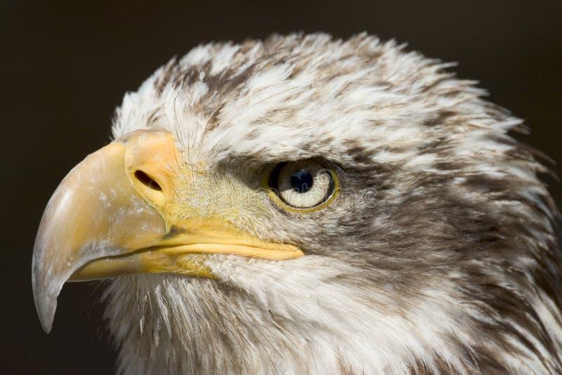 Águila 1 fotografía de archivo libre de regalías