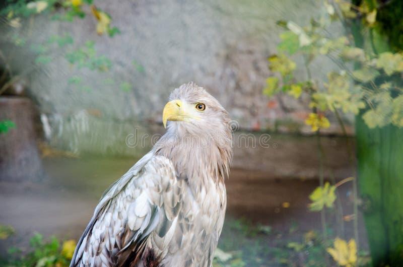 Águila #2 fotos de archivo libres de regalías
