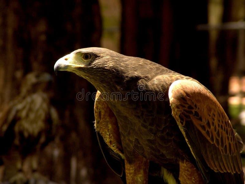 Águila imagenes de archivo