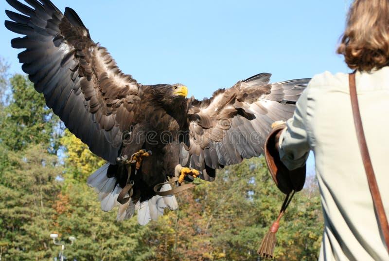 Águila 66 imagen de archivo libre de regalías
