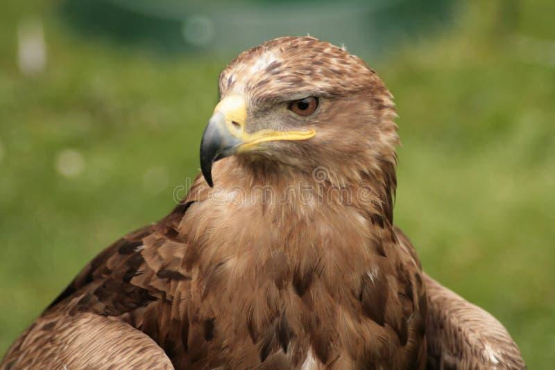 Águila fotografía de archivo
