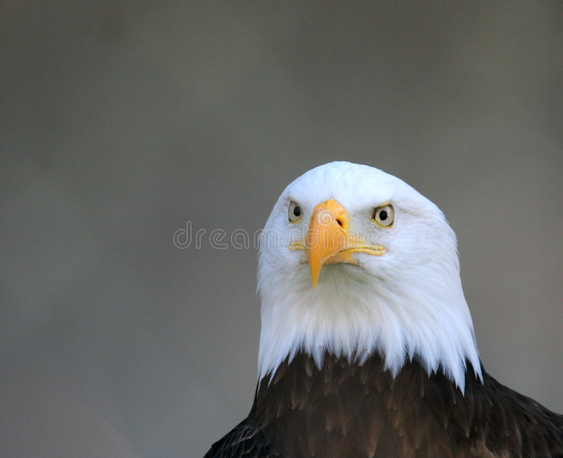 Download Águila imagen de archivo. Imagen de perforación, pico, calvo - 75587