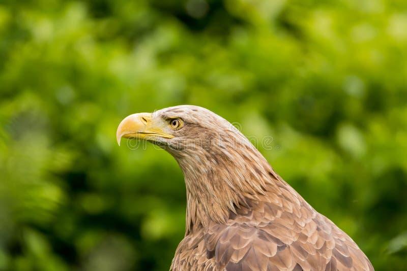 Águila/albicilla atados blancos del Haliaeetus imágenes de archivo libres de regalías
