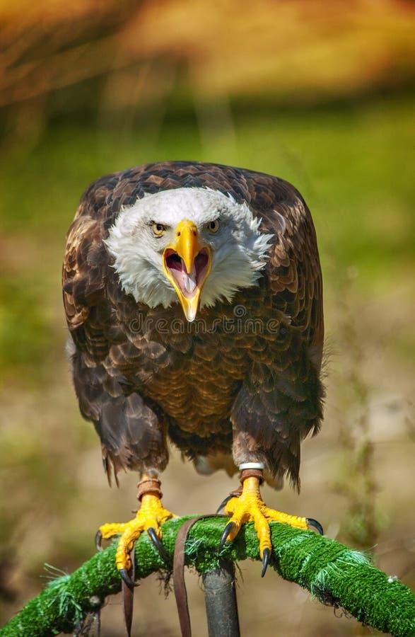Águila americana calva que grita en un parque zoológico foto de archivo