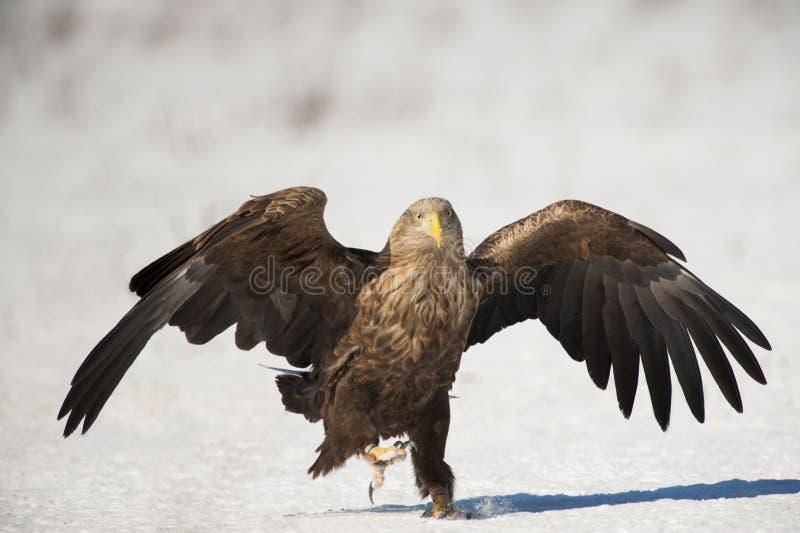 Download águila Blanco-atada imagen de archivo. Imagen de pistas - 42436709