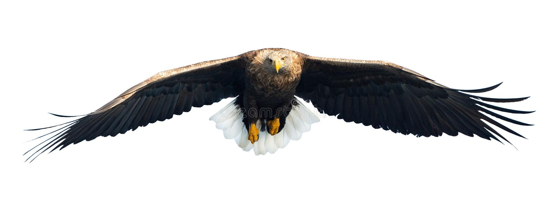 Águila blanco-atada adulto en vuelo Front View Aislado en el fondo blanco imagen de archivo
