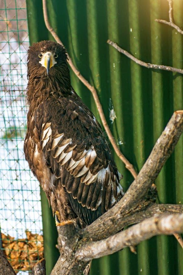águila Blanco-atada, el ave rapaz hermosa, grande pájaro brillante, fuerte imagenes de archivo