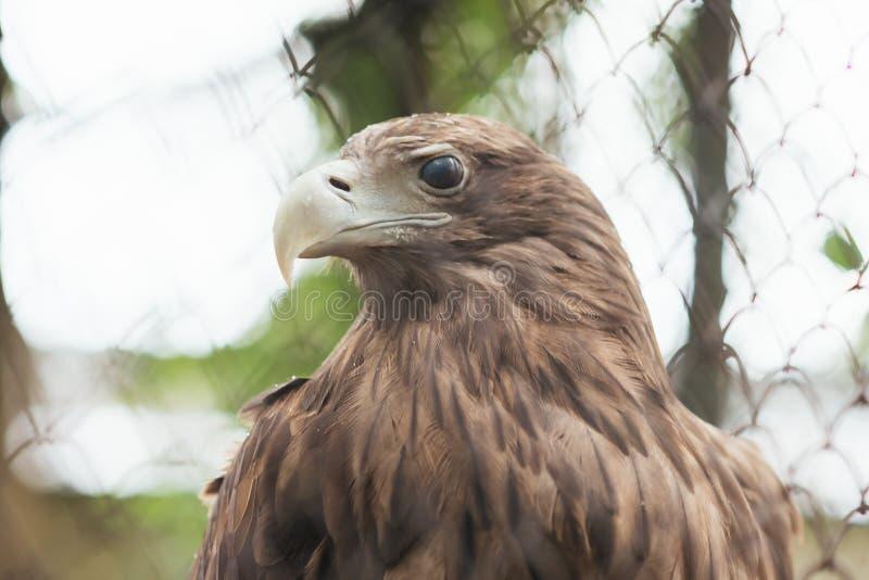 águila Blanco-atada en cautiverio en una jaula fotografía de archivo libre de regalías