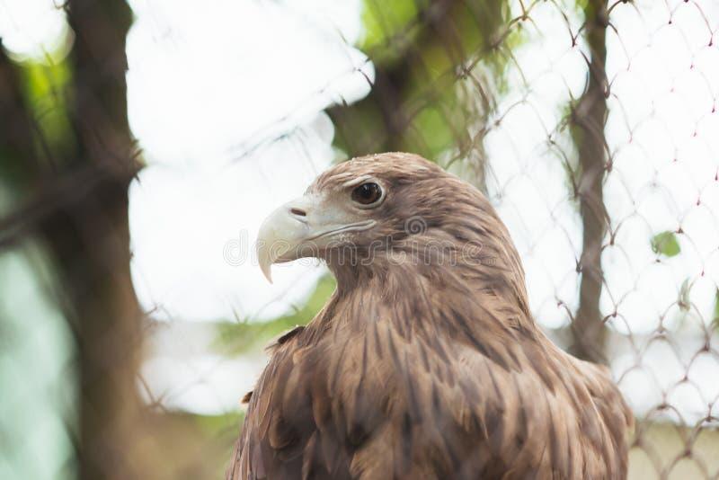 águila Blanco-atada en cautiverio en una jaula imagenes de archivo