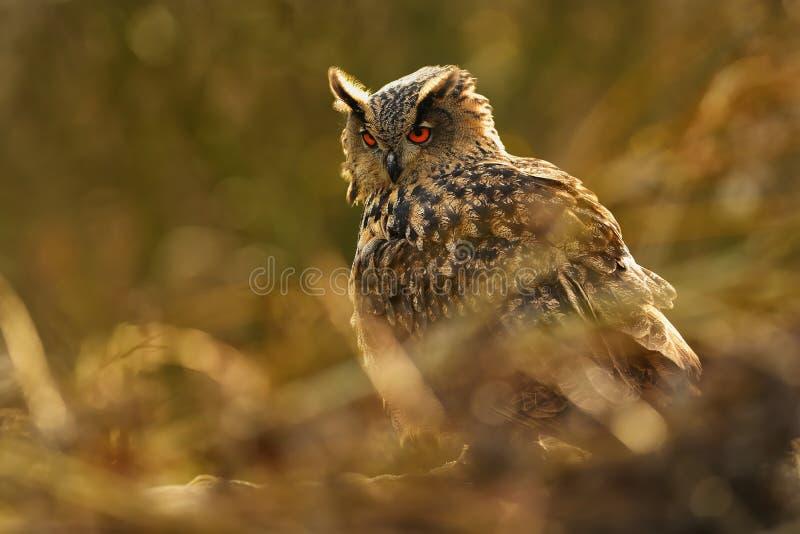 Águila-buho eurasiático - bubón del bubón fotos de archivo libres de regalías
