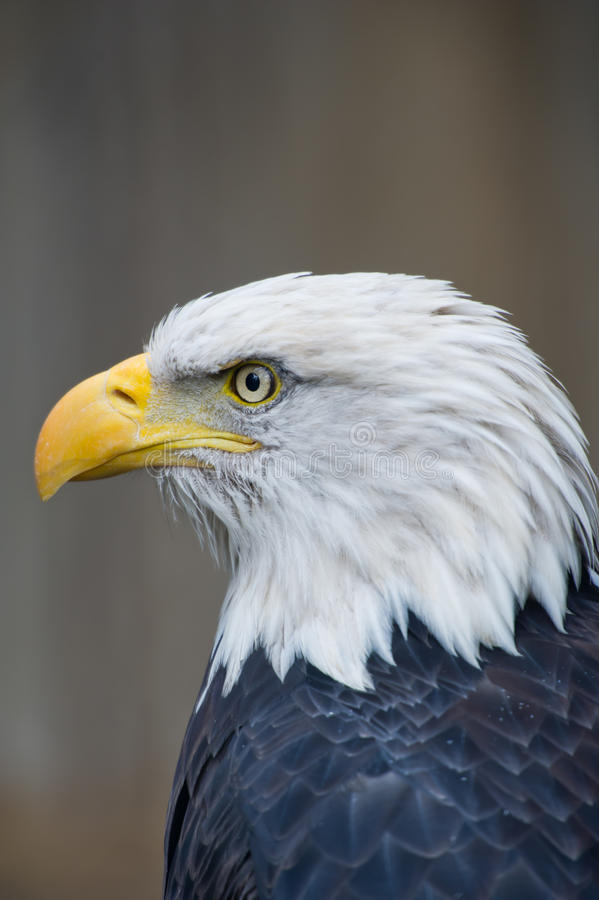 Águila calva imagenes de archivo