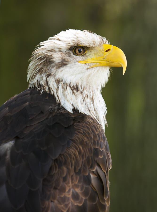 Águila calva foto de archivo