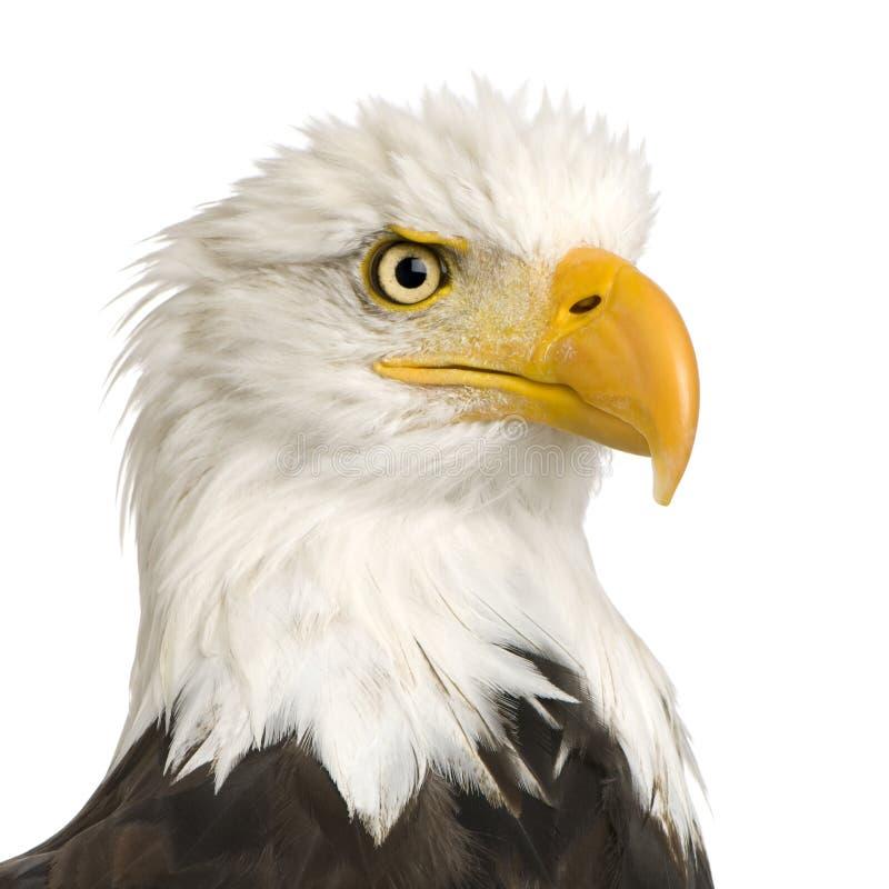 Águila calva (22 años) - leucocephalus del Haliaeetus fotos de archivo libres de regalías