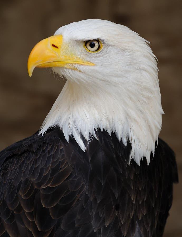 Águila calva imágenes de archivo libres de regalías