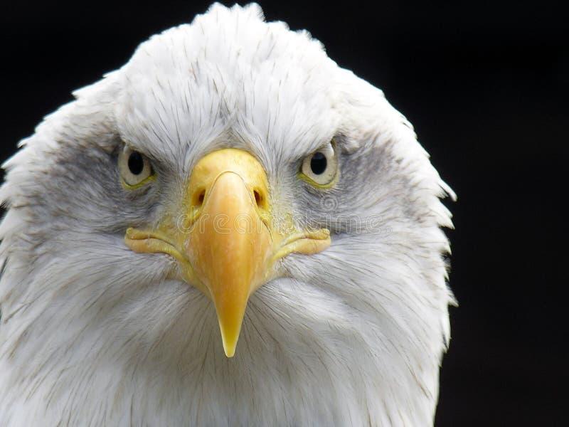 Águila calva fotografía de archivo libre de regalías