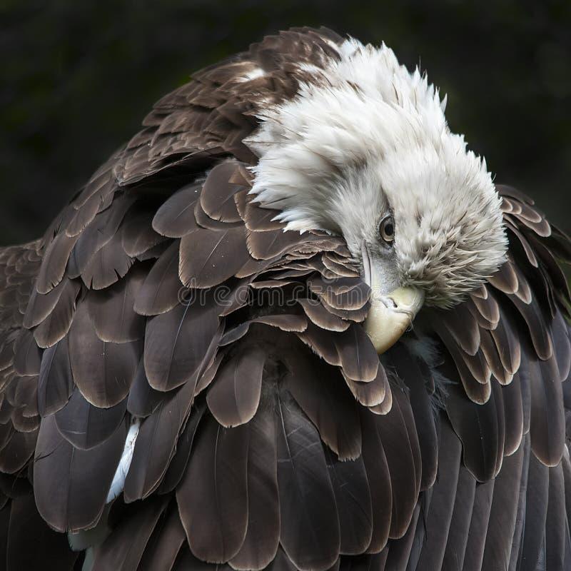 Águila calva imagen de archivo
