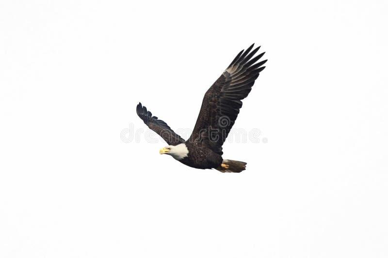 Águila calva aislada foto de archivo