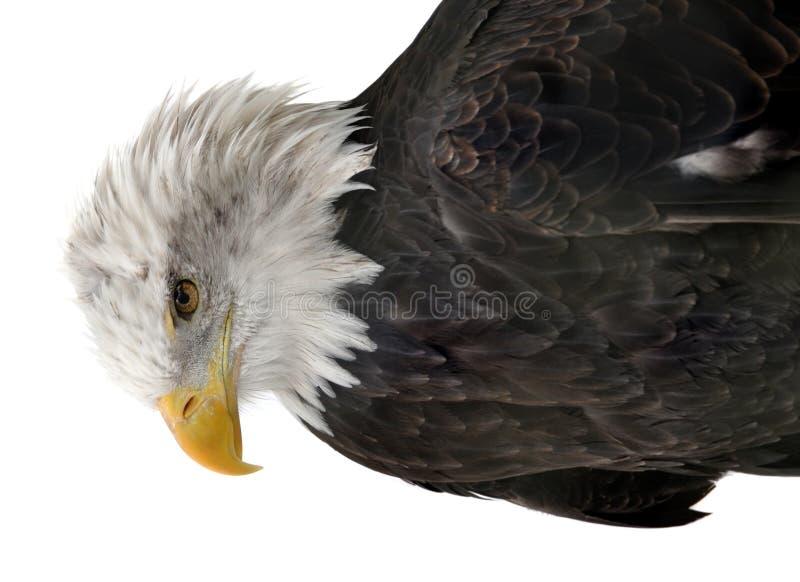 Águila calva aislada fotografía de archivo