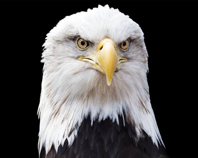 Águila calva aislada imagen de archivo