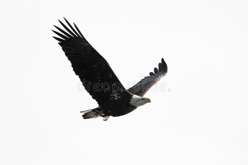 Águila calva aislada que lleva un pescado fotos de archivo libres de regalías