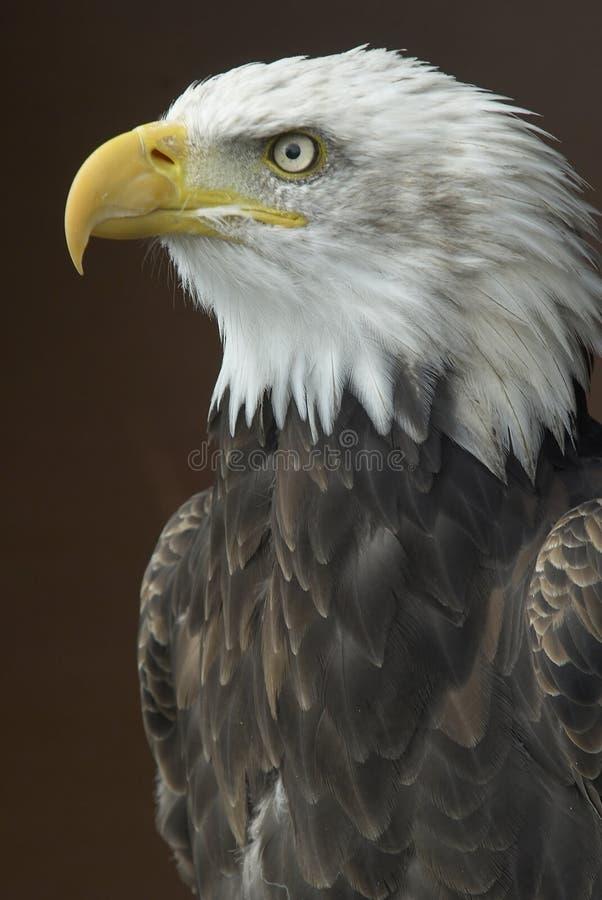 Águila calva americana fotos de archivo libres de regalías