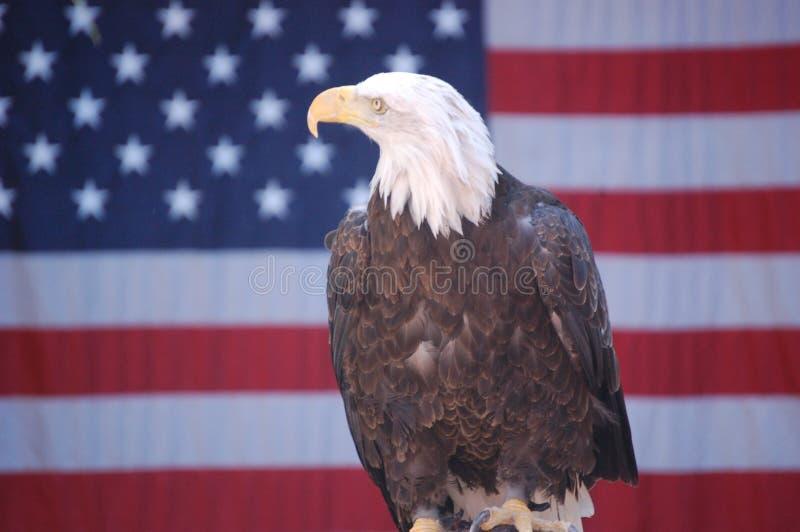 Águila calva con el indicador 2 foto de archivo
